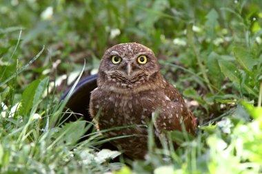 Burrowing Owl near culvert