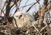 Baby sýček v hnízdě velký rohatý