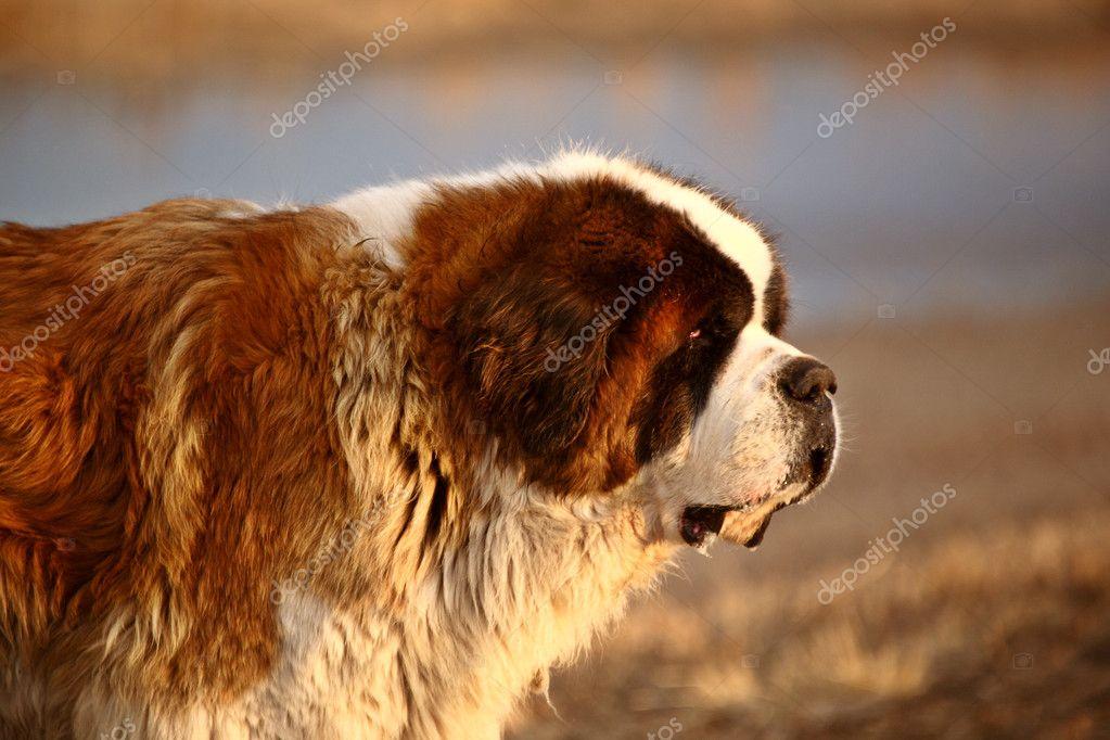 Perro san bernardo cerca de estanque de saskatchewan for Estanque para perros