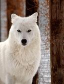 arktický Vlk v zimě