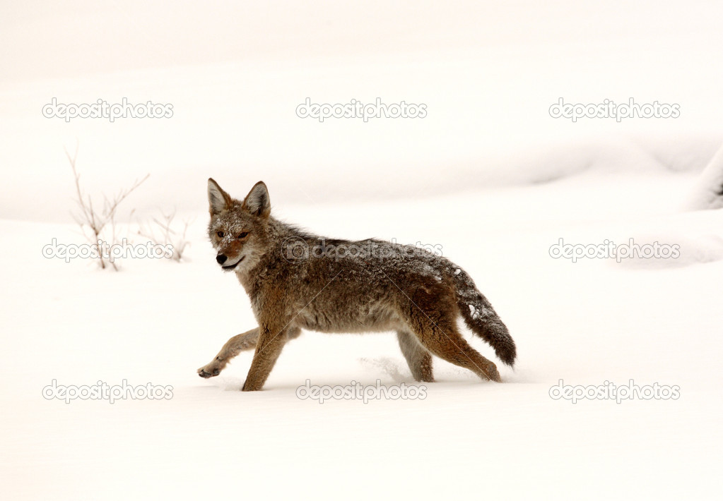 Coyote running through snow covered field — Stock Photo