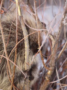 Porcupine amongst willows in winter