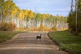 bílá laň sledoval na lesní cestě v podzim