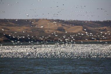 Huge flock of Snow Geese on Buffalo Pound Lake