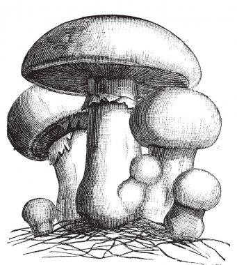 Agaricus campestris or meadow mushroom engraving