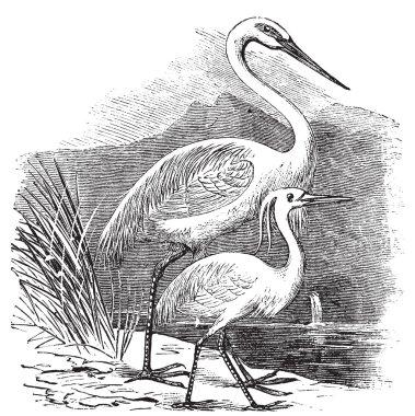 Engraving of a Great Egret (ardea alba) and Little Egret (ardea