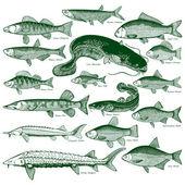 Fotografie Fische Süßwasser Vektor 1