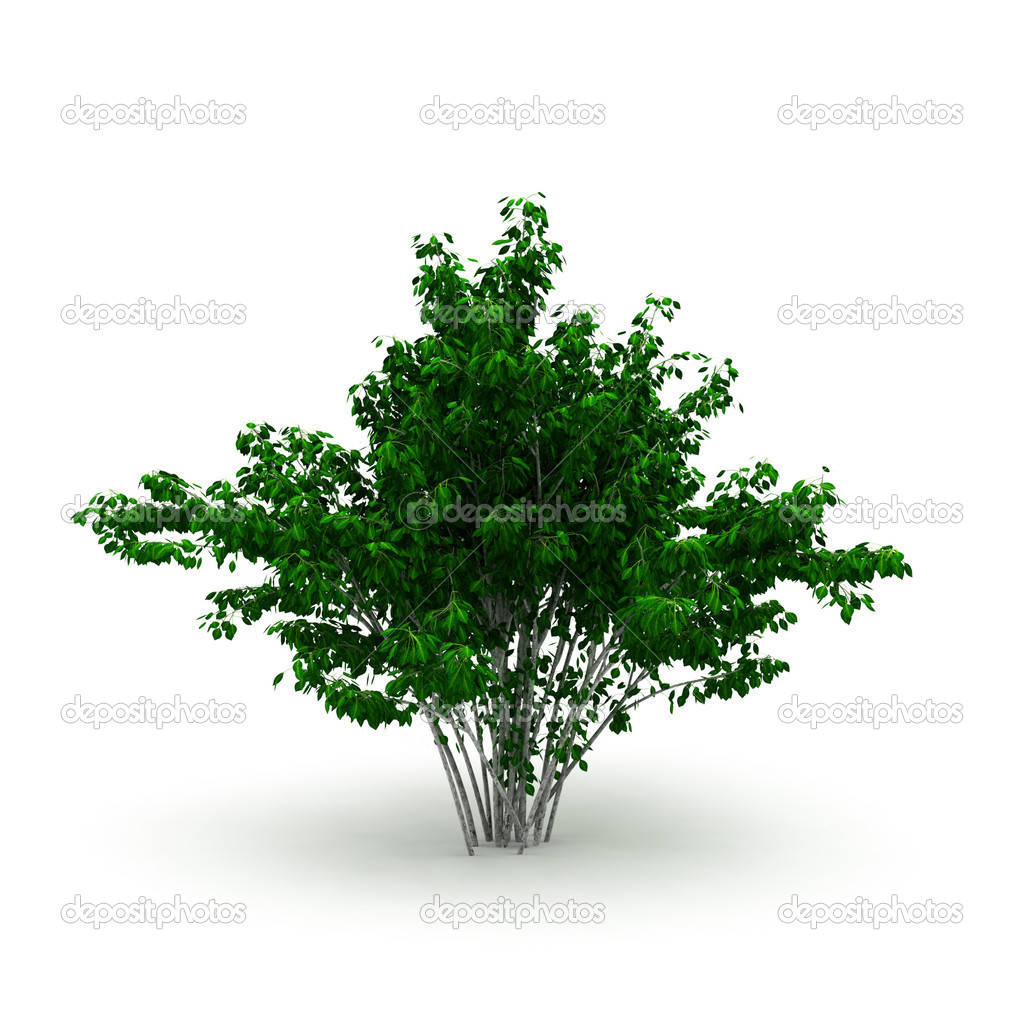 Decorative bush isolated