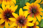 Beautiful black-eyed susans
