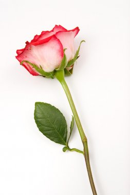 Rose with stem on white background.