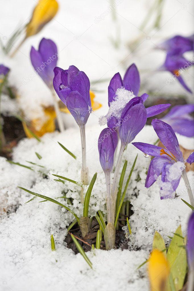 Снега покрыты крокусы. — стоковое фото