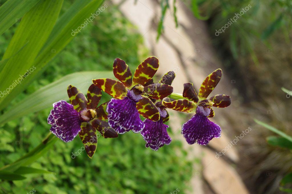 Vue De Zygopetalum Crochet Fleur D Orchidee De Sp Photographie