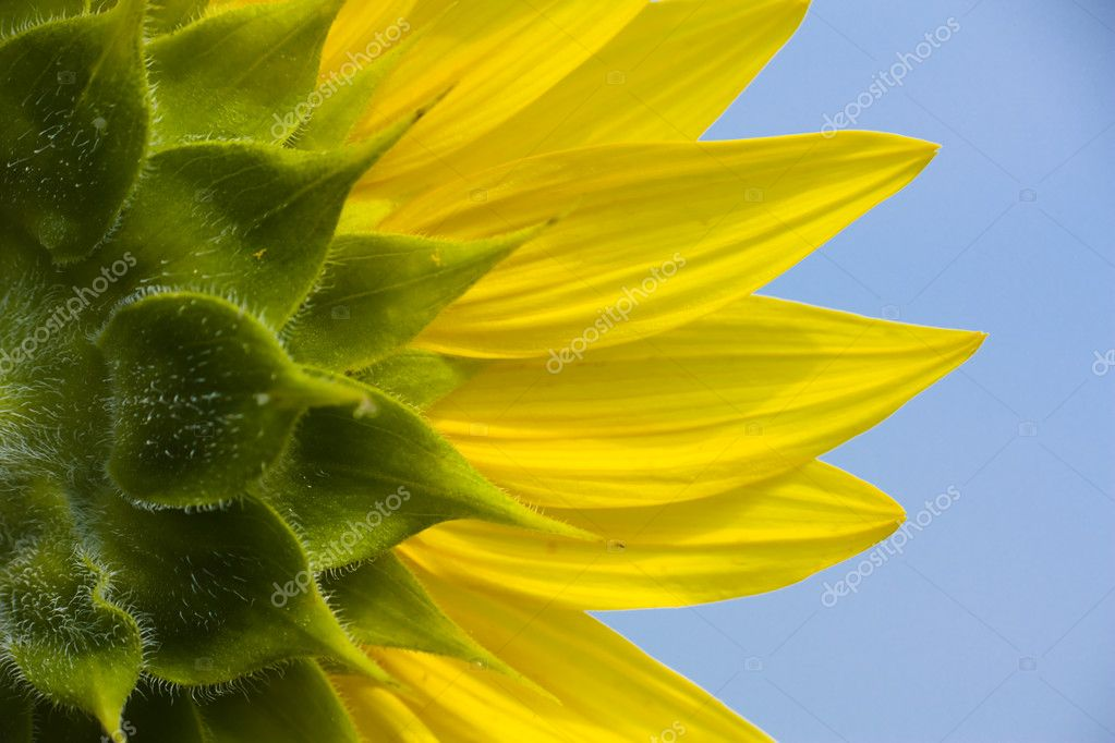 The other side of the sunflower
