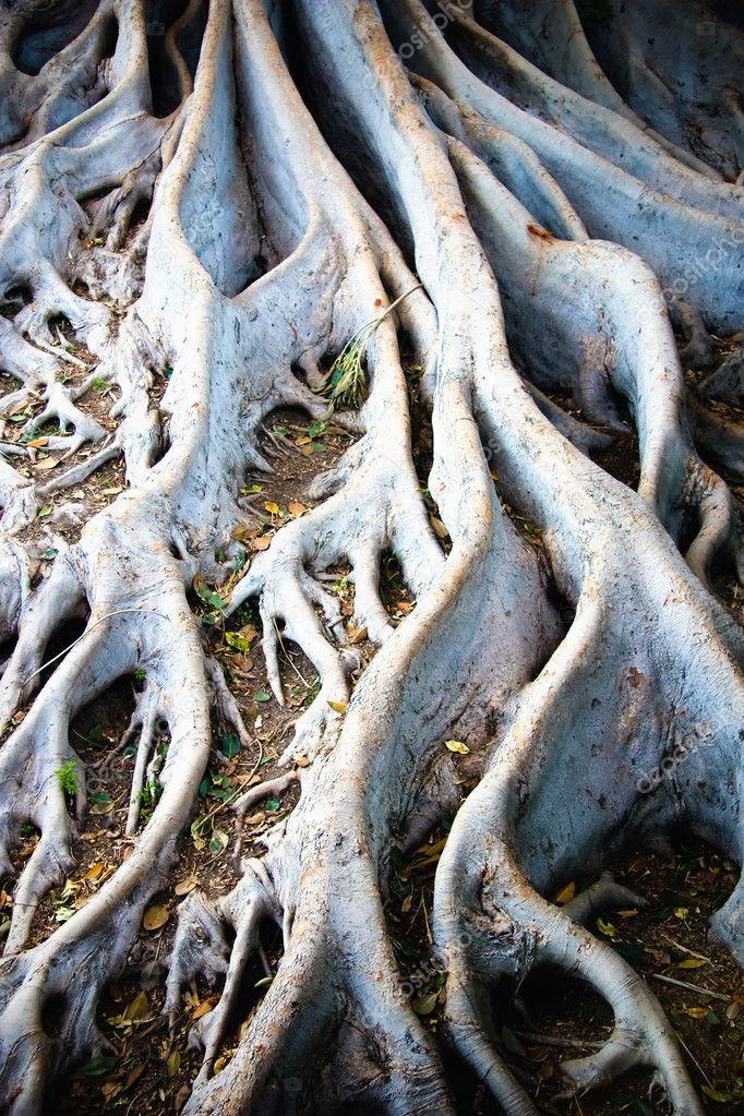Radici dell 39 albero bianco foto stock sprokop 5136233 for Albero fico prezzo