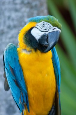 Macaw nodding his head.