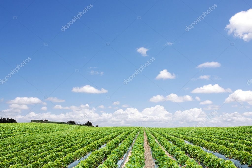 Strawberry field perspective