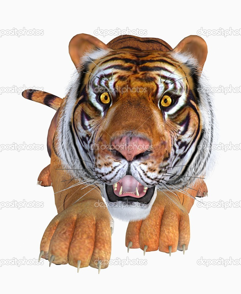 Tiger , isolated