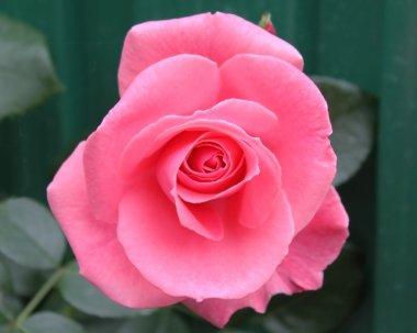 Lawinia rose