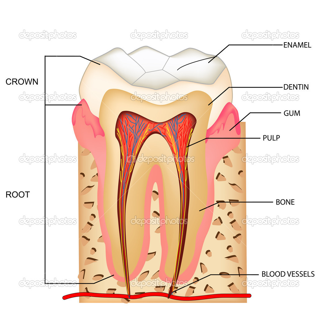 Teeth Anatomy Stock Vector Vectomart 5258262