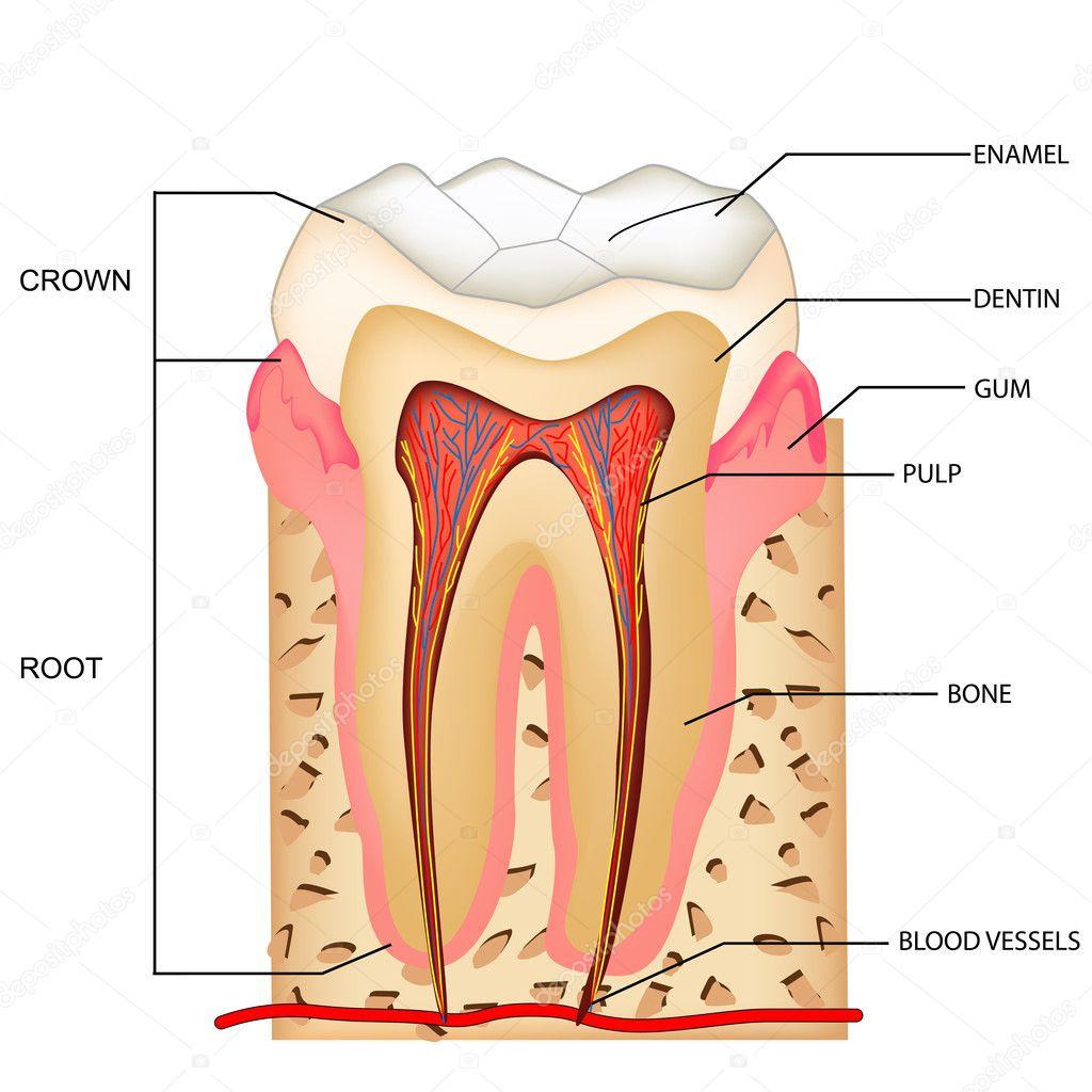 Teeth Anatomy — Stock Vector © vectomart #5258262