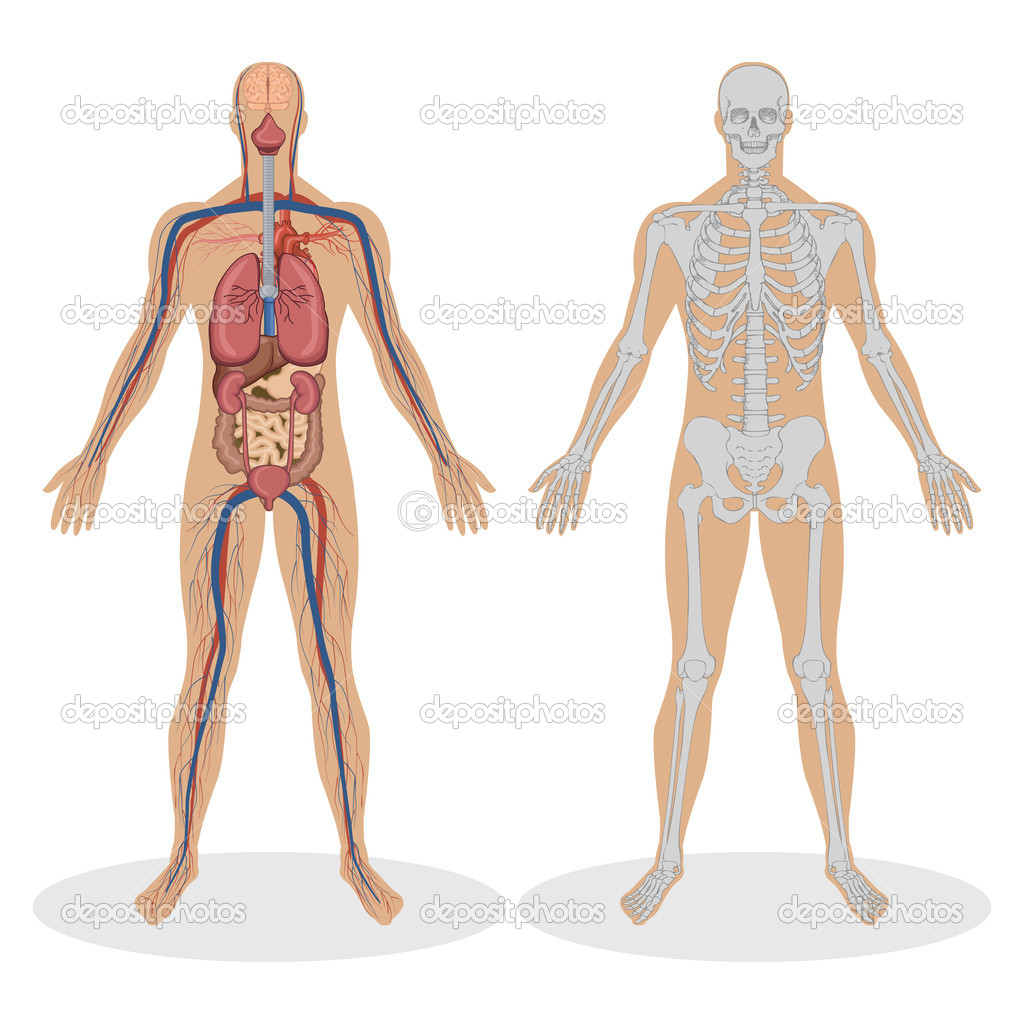 Human Anatomy of man — Stock Vector © vectomart #5277496