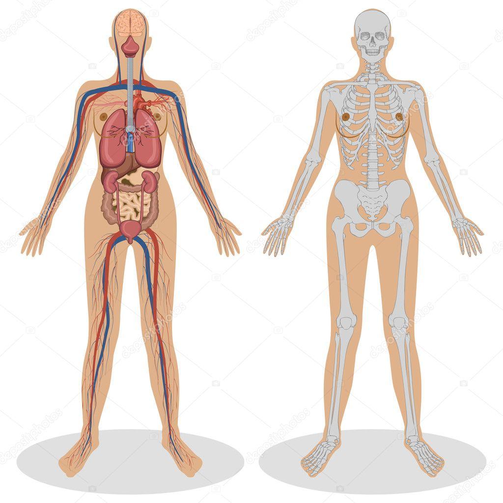 anatomía humana de mujer — Vector de stock © vectomart #5277634