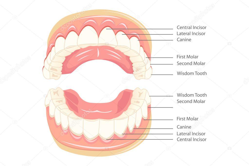 Teeth Anatomy — Stock Vector © vectomart #5278012