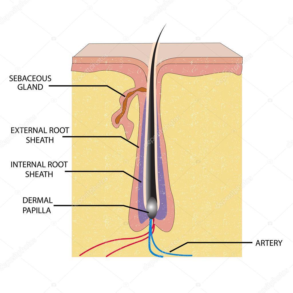 Anatomy of Hair — Stock Vector © vectomart #5344023