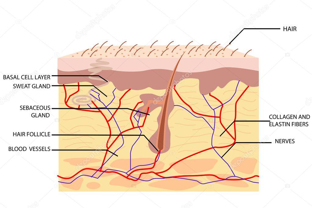 Anatomía de la piel — Archivo Imágenes Vectoriales © vectomart #5344057
