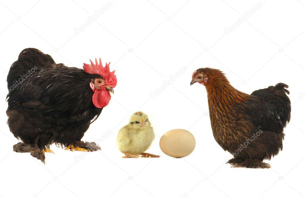 Bianco Cocks Nero micio