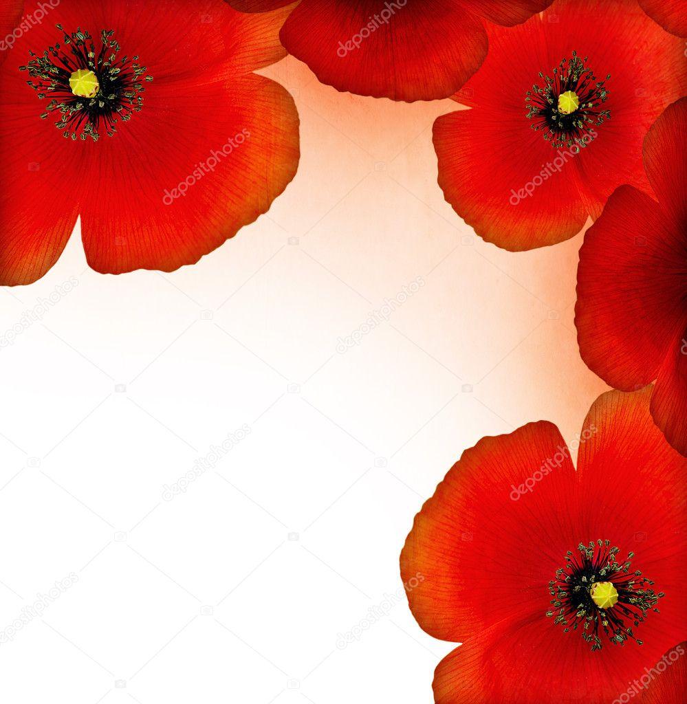 Фотообои Red poppy border
