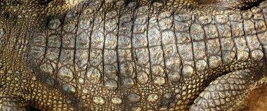 Alive Crocodile real skin macro texture detail