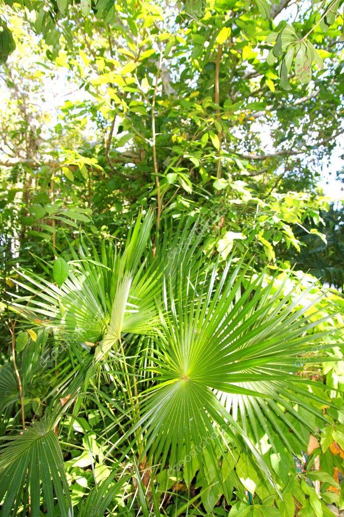 Chit palm tree in jungle rainforest in Mayan Riviera
