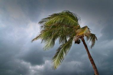 Hurricane tropical storm coconut palm tree leaves