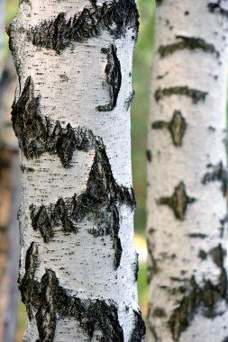 Birch trunk