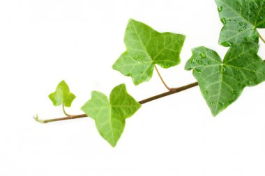 Isolated Ivy Vine