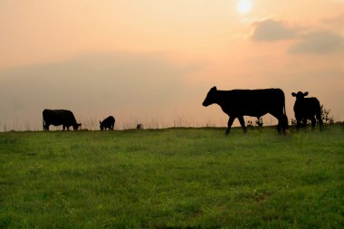 Silhouetter of Cows