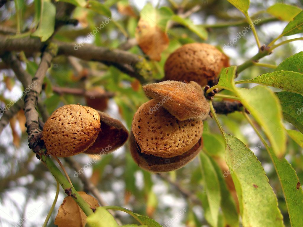 a description of almond nuts from the almond tree The almond tree is the among the first trees to awaken from its winter sleep we therefore eat almonds.