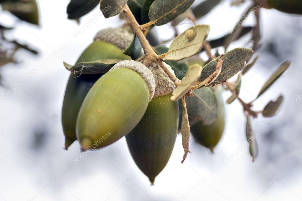 Acorn fruits
