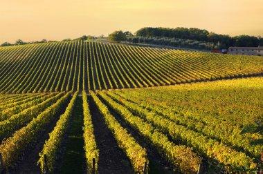 Vineyard in Chianti region, Tuscany, Italy