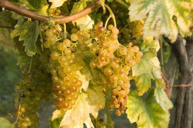 Vineyards in harvest time