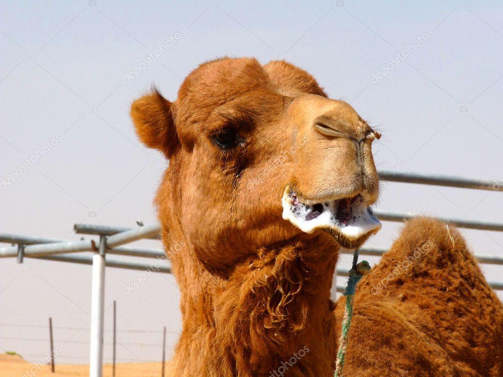 Chameau de mâles reproducteurs arabe — Photographie naiyyer © #5271614