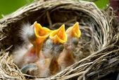 Fotografia tre pettirossi di bambino in un nido