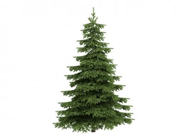 Spruce or Picea