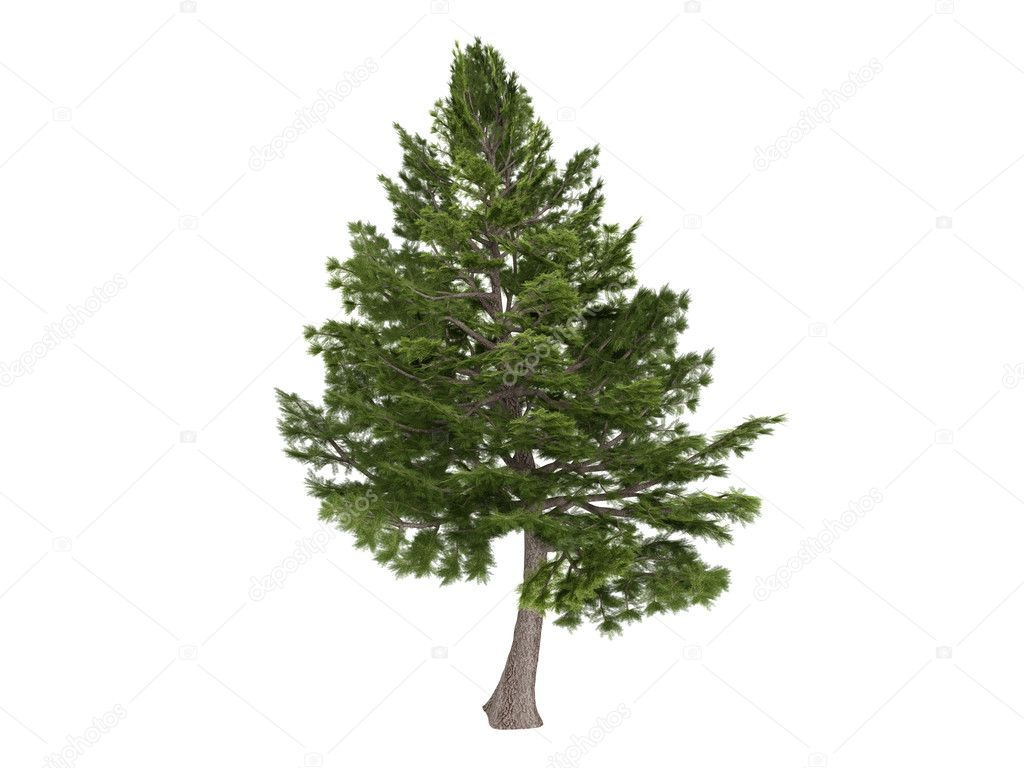 Cedar or Cedrus libani