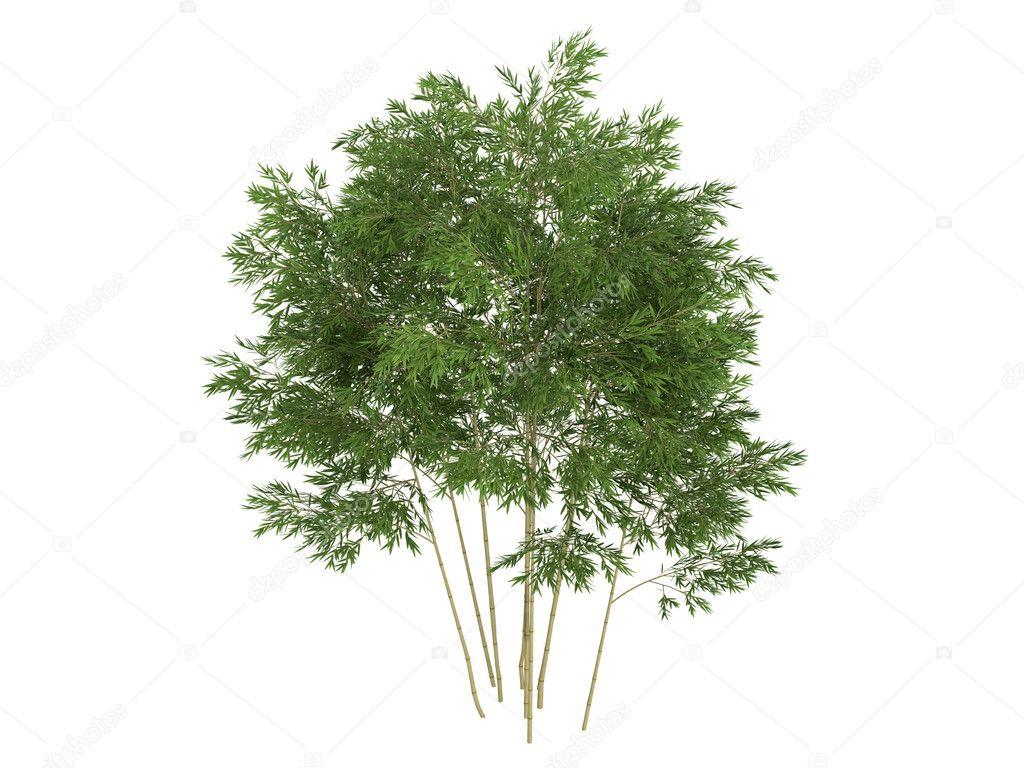 Golden fishpole bamboo or Phyllostachys aurea — Stock Photo ...