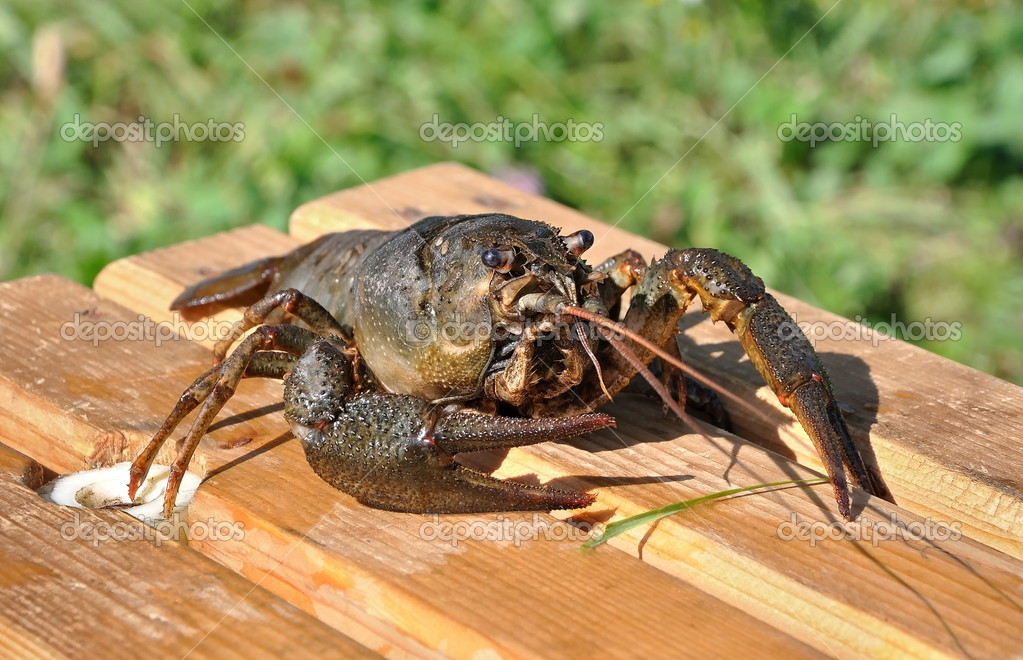 Crayfish astacus, live crayfish and large close-up