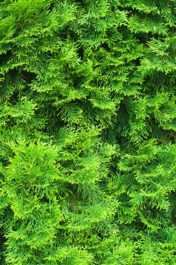 Evergreen needles of young cypress texture close-up stock vector