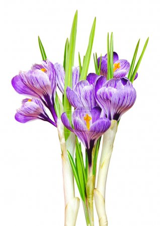 Beautiful spring crocus.i