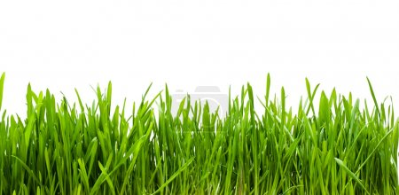 Photo pour Herbe verte fraîche sur fond blanc - image libre de droit